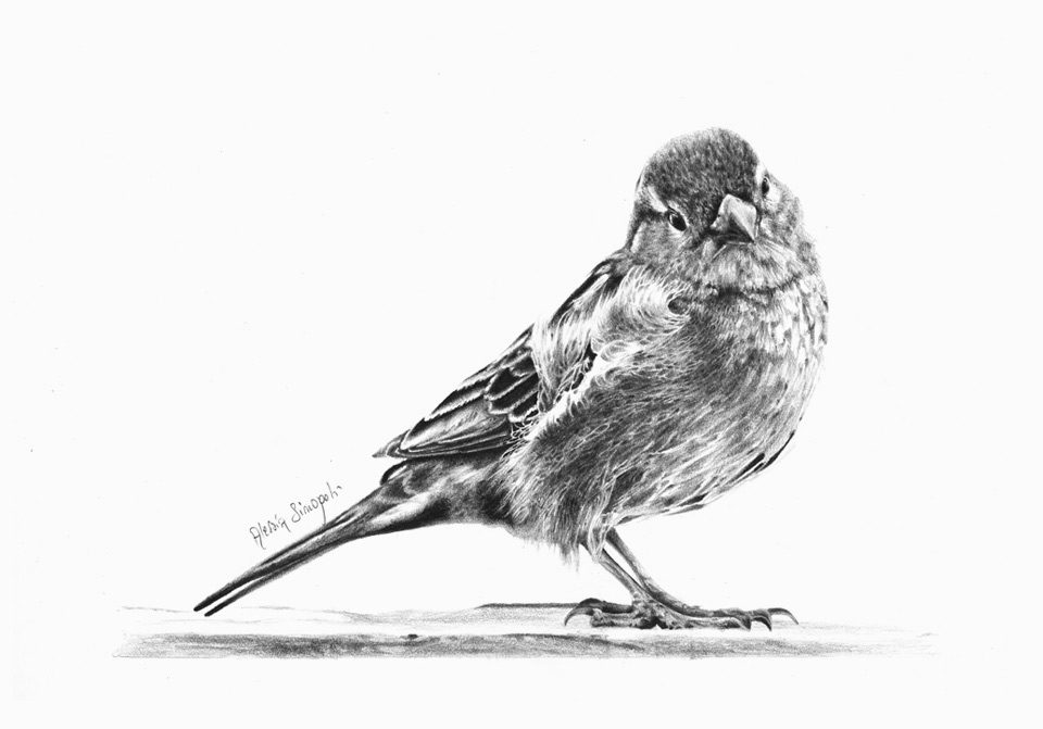 alessia_sinopoli_pencil_drawing_sparrow1
